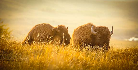 buffalo-11-575px