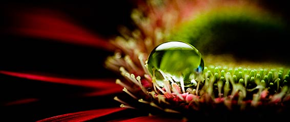 Red Petal Dewdrop