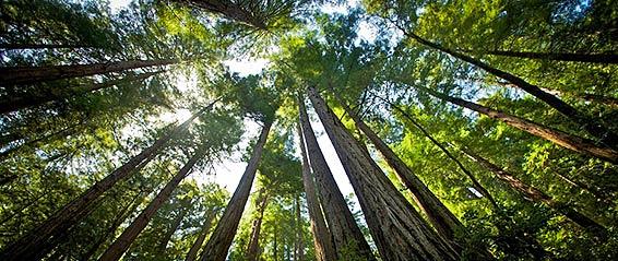 Muir Woods 566 237px